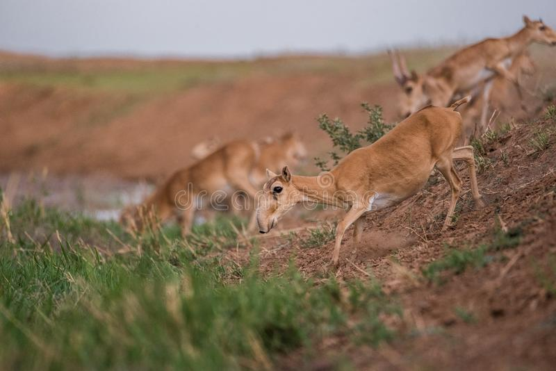 Saiga tatarica is listed in the Red Book. Chyornye Zemli Black Lands Nature Reserve, Kalmykia region, Russia stock photos