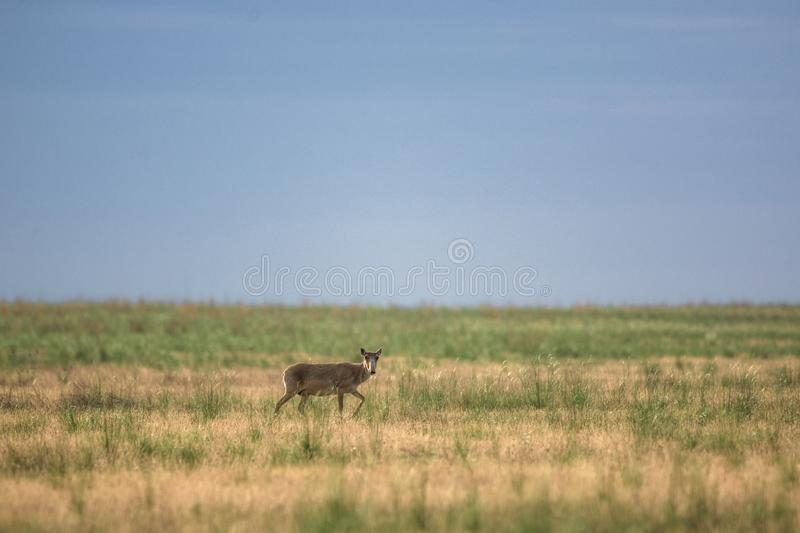 Saiga tatarica is listed in the Red Book. Chyornye Zemli Black Lands Nature Reserve, Kalmykia region, Russia royalty free stock images