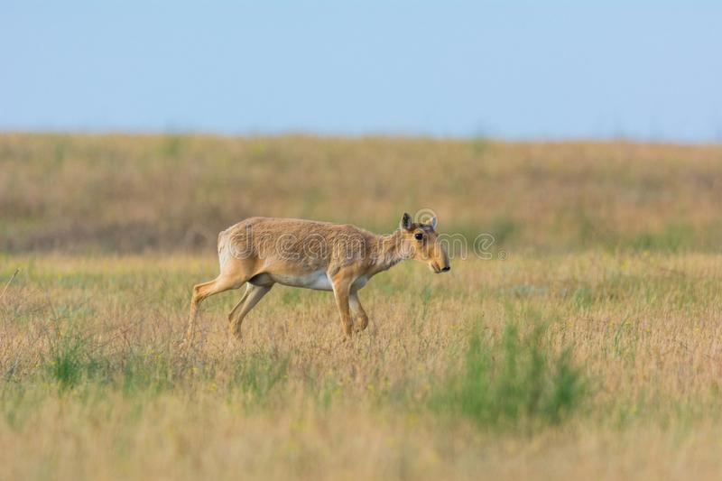 Saiga tatarica is listed in the Red Book. Chyornye Zemli Black Lands Nature Reserve, Kalmykia region, Russia royalty free stock photography