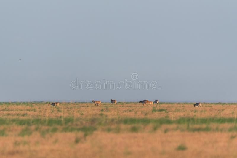 Saiga tatarica is listed in the Red Book. Chyornye Zemli Black Lands Nature Reserve, Kalmykia region, Russia royalty free stock photo