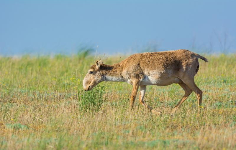 Saiga tatarica royalty free stock images