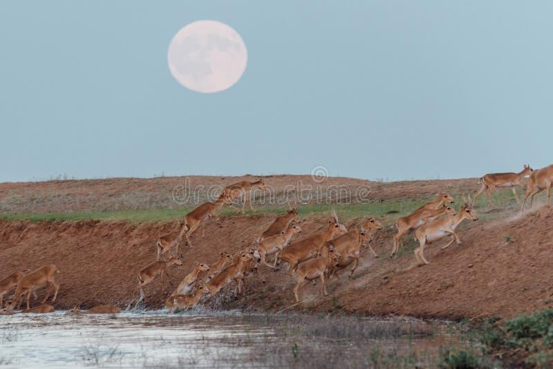 Saigas an einer Wasserentnahmestelle auf dem Hintergrund eines steigenden Vollmonds stockbilder