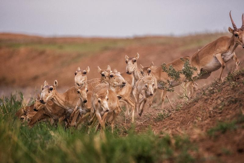 Saigas at a watering place drink water and bathe during strong heat and drought. Saiga tatarica is listed in the Red Book, Chyornye Zemli Black Lands Nature royalty free stock photos