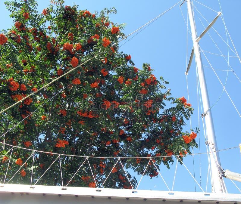 Sailboat mast and rowan tree. stock photo