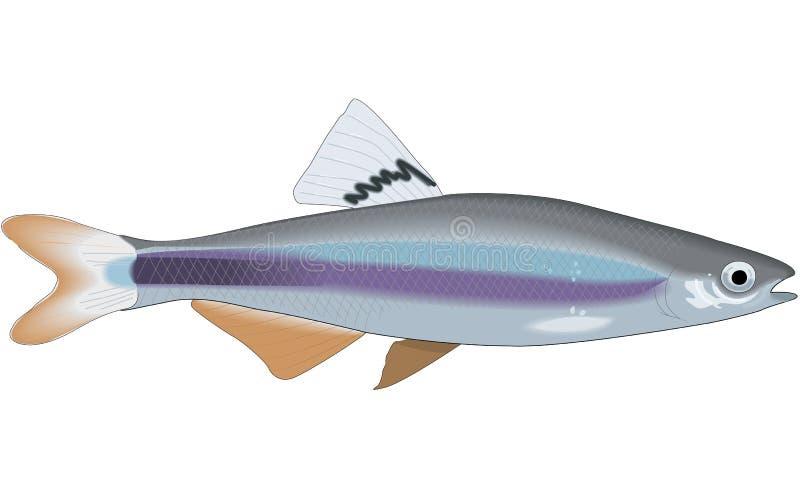 Sailfin发亮光物体鲤科小鱼例证 库存例证