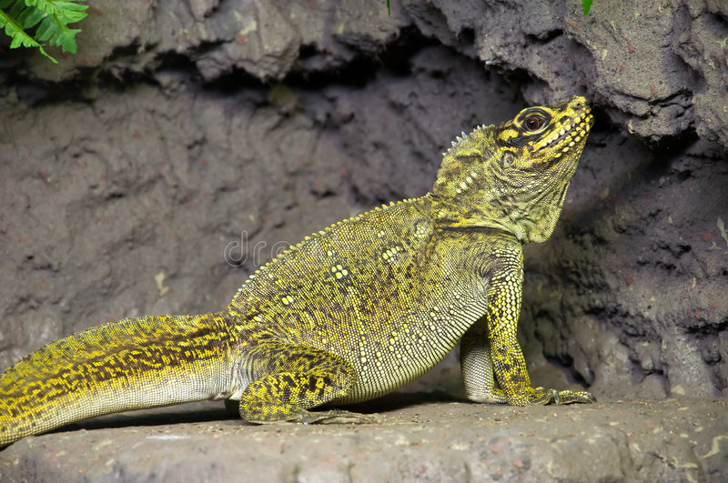 Sailfin lizard royalty free stock photography
