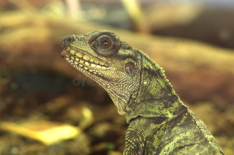 Sailfin Lizard stock photo