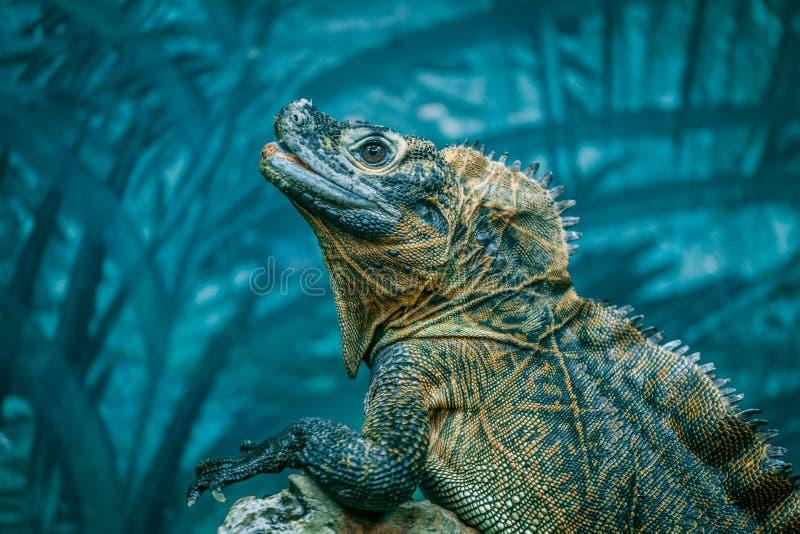 Sailfin Lizard portrait on blurred background. stock image