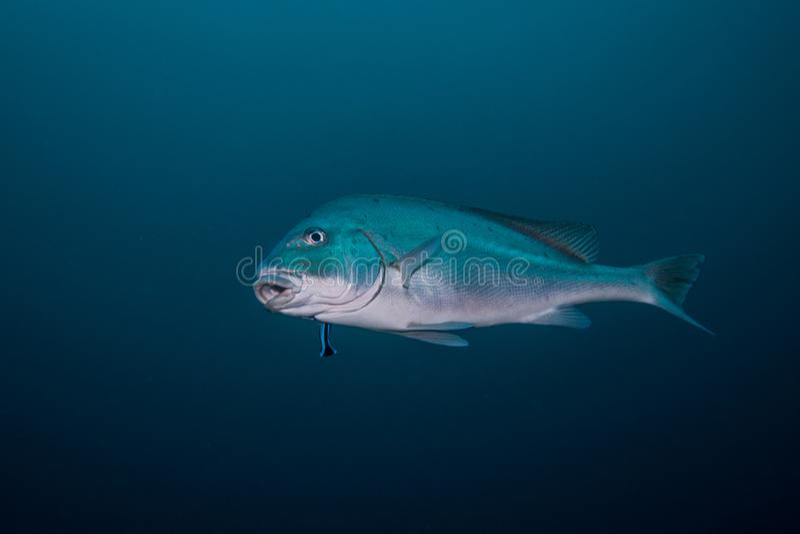 Sailfin Rubberlip, Sweetlip ryba/odizolowywaliśmy dopłynięcie w otwartej wodzie obrazy stock