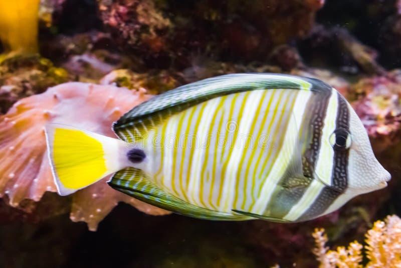 Sailfin tang fish in closeup, a tropical and colorful aquarium pet from the indian ocean stock photos