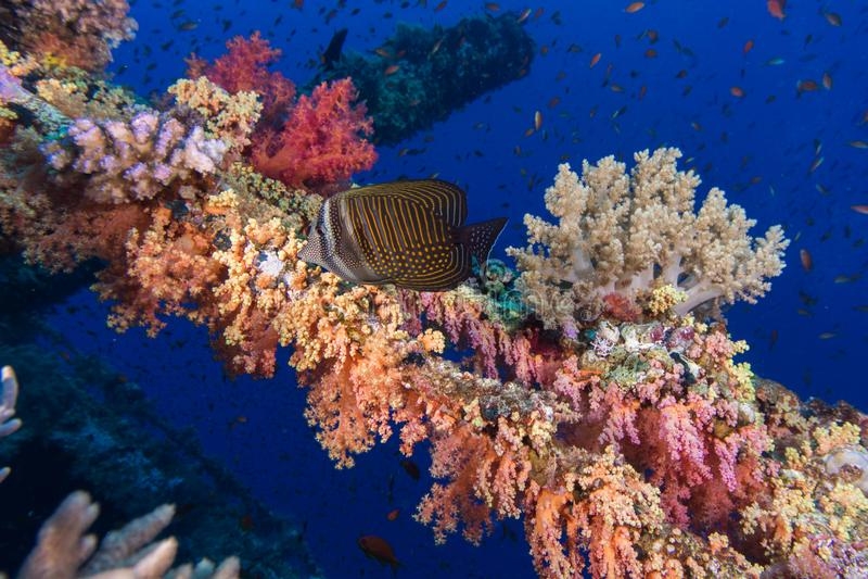 Sailfin Tang Zebrasoma desjardinii fish swimming royalty free stock image
