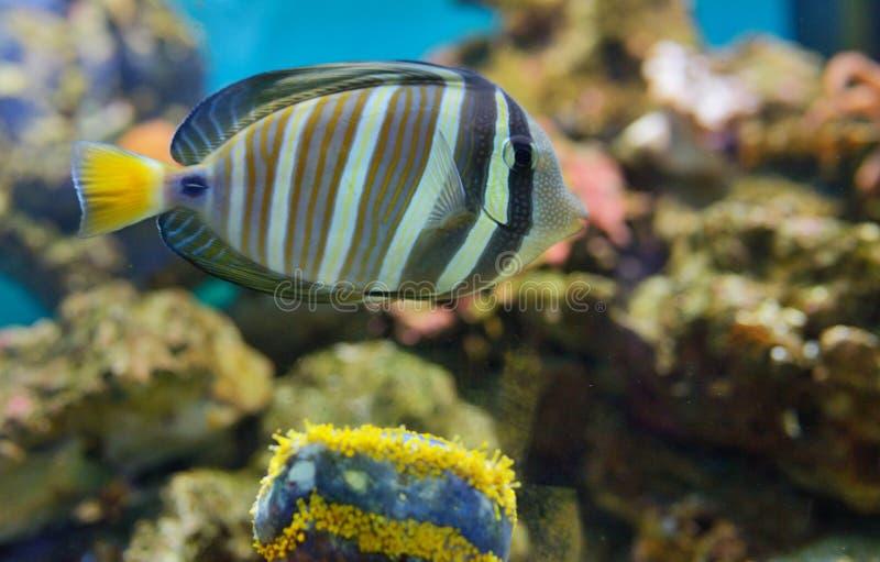 Sailfin tang Zebrasoma veliferum fish stock images