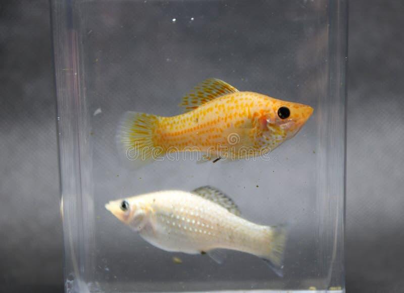 Sailfin vist molly, verzilvert en oranje kleur in de doos van het waterglas het wijfje is groter royalty-vrije stock foto's