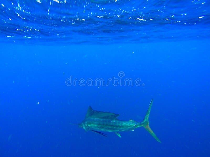 sailfish foto de archivo