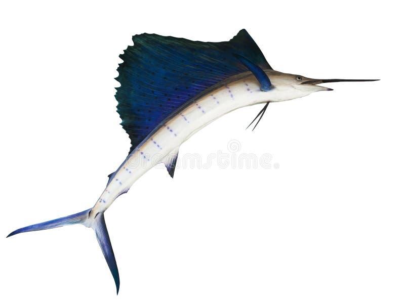 Sailfish flying midair isolated white background use for marine stock image