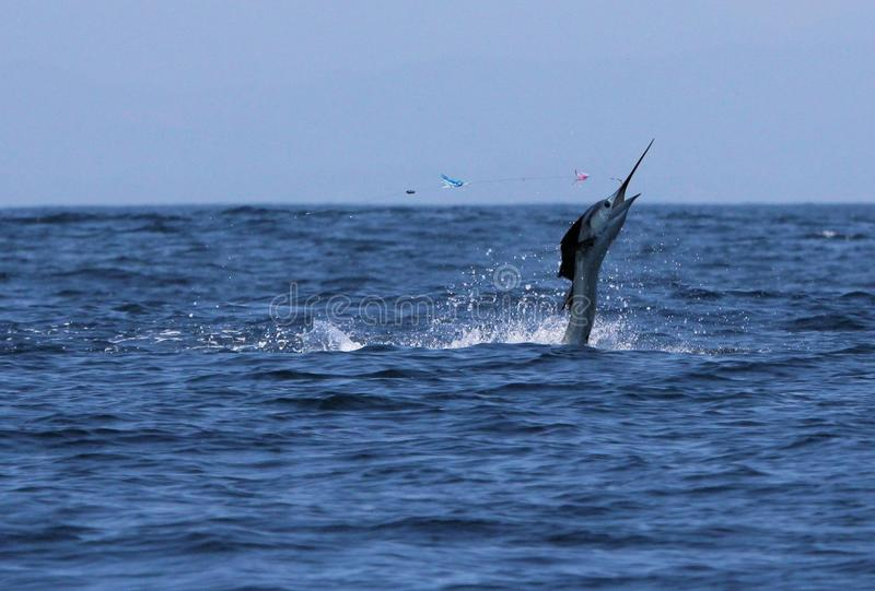 Sailfish jumping out of the water stock images