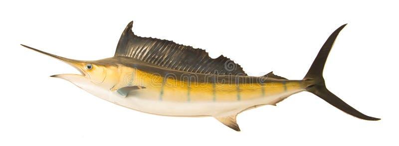 Sailfish latającego w powietrzu odosobniony biały tło fotografia stock
