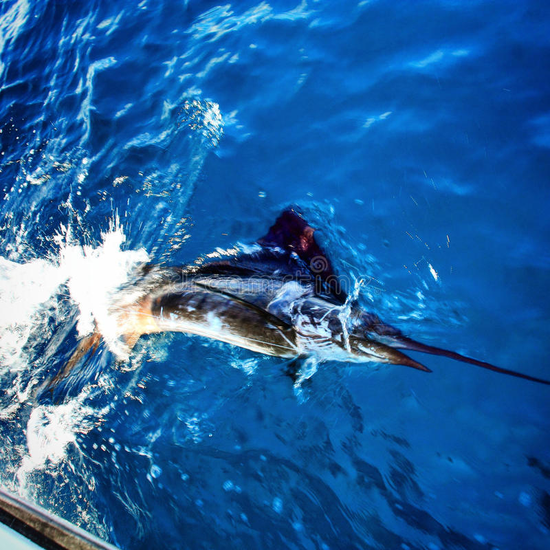 Sailfish releas. Pacific sailfish tagged and released in Costa Rica stock photography