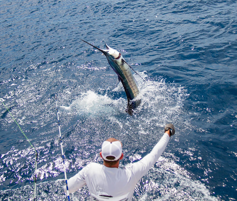 Sailfish releas. Pacific sailfish tagged and released in Costa Rica royalty free stock images