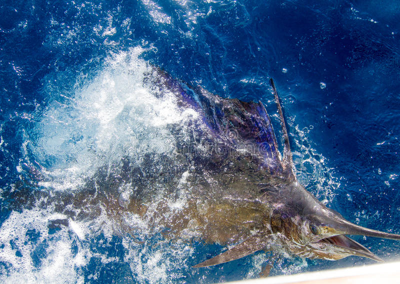 Sailfish release. Pacific sailfish tagged and released in Costa Rica royalty free stock image