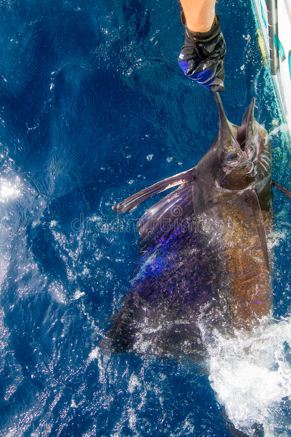 Sailfish release. Pacific sailfish tagged and released in Costa Rica royalty free stock photography