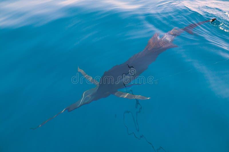 Sailfish som nästan sportfishing fartyget med reven royaltyfri bild
