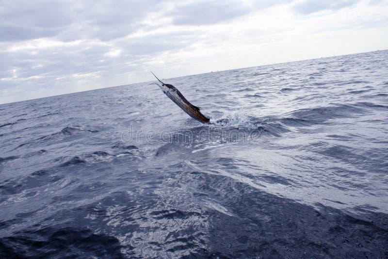 Sailfish svärdfiskbanhoppning arkivfoto