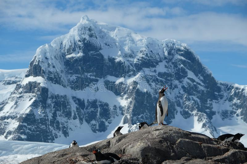 Antarctica Gentoo penguins stand jagged snowy mountains 2 royalty free stock image