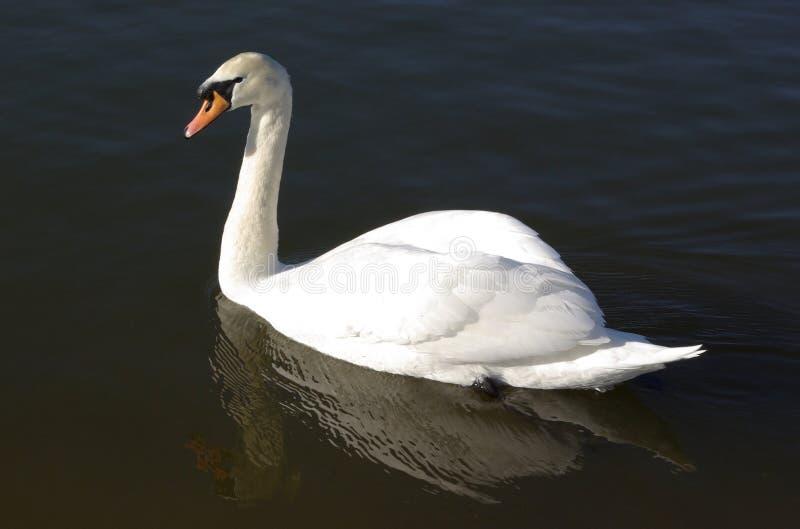 Sailing a swan stock photography