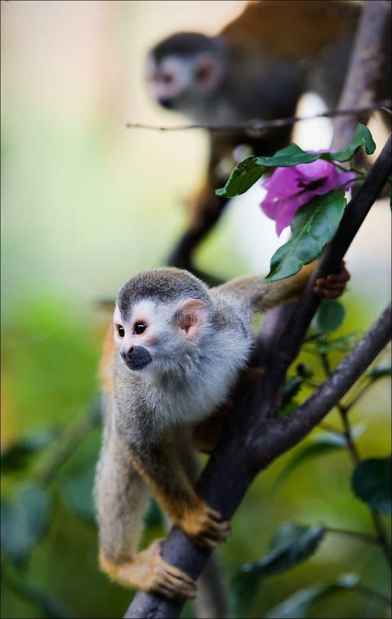 Saimiri - de aap van de Eekhoorn. royalty-vrije stock foto's