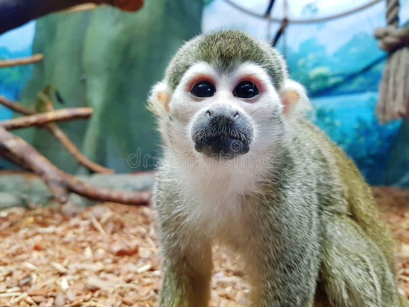 Saimiri Sciureus Close-up de um macaco de esquilo comum fotos de stock