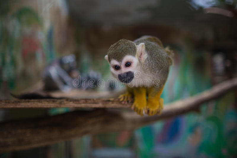 The Saimiri sciureus (It is a species of monkey). The monkey's scientific name is called Saimiri sciureus。Habit and monkeys are similar, but they are more royalty free stock photography