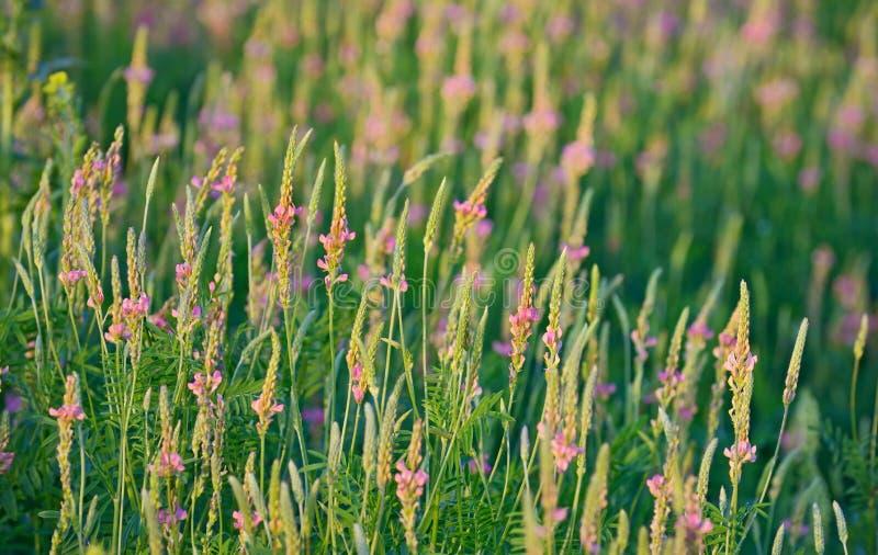 Sainfoin fleurissant, viciifolia d'Onobrychis photos stock