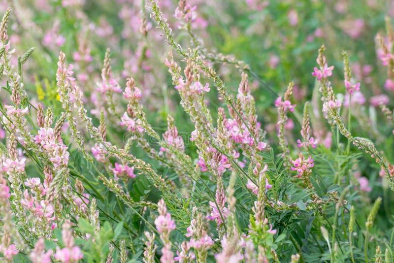 Sainfoin fleurissant, viciifolia d'Onobrychis image libre de droits