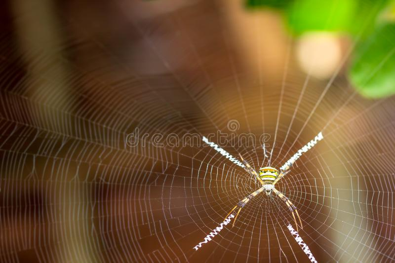 Saint andrews cross spider on spider web. stock photography