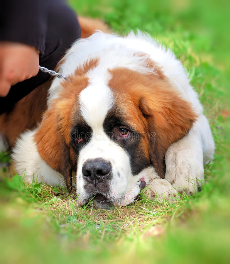 Saint Bernard royalty free stock image