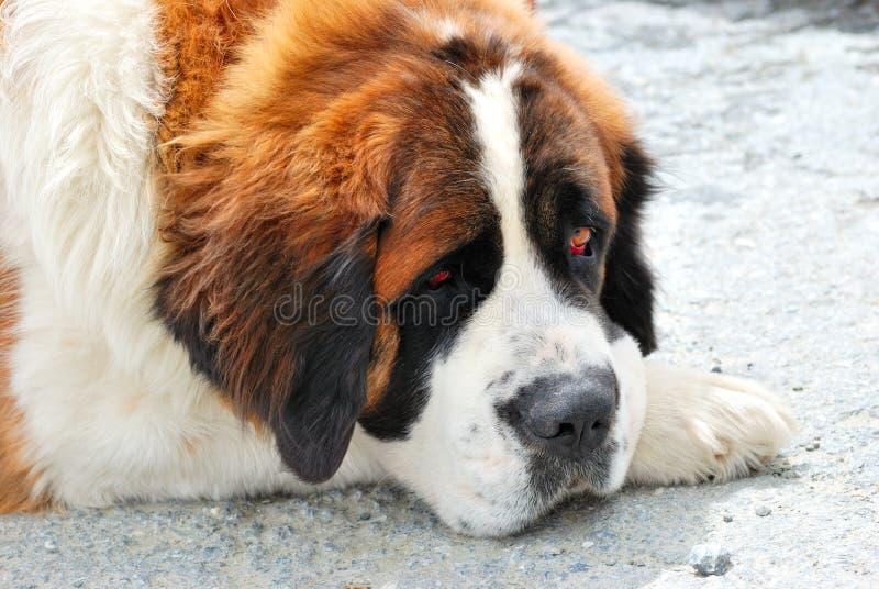 Download Saint Bernard Dog Stock Photos - Image: 17044323
