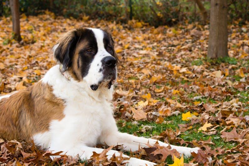 Saint Bernard Dog in Autumn royalty free stock photo