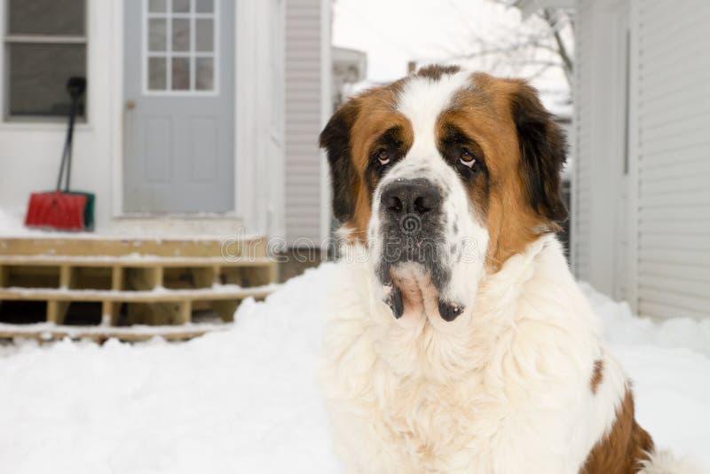 Saint Bernard Dog Outside in Winter royalty free stock photography