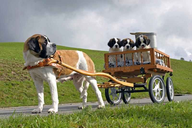 Saint Bernard female with three puppies in cart. royalty free stock photography