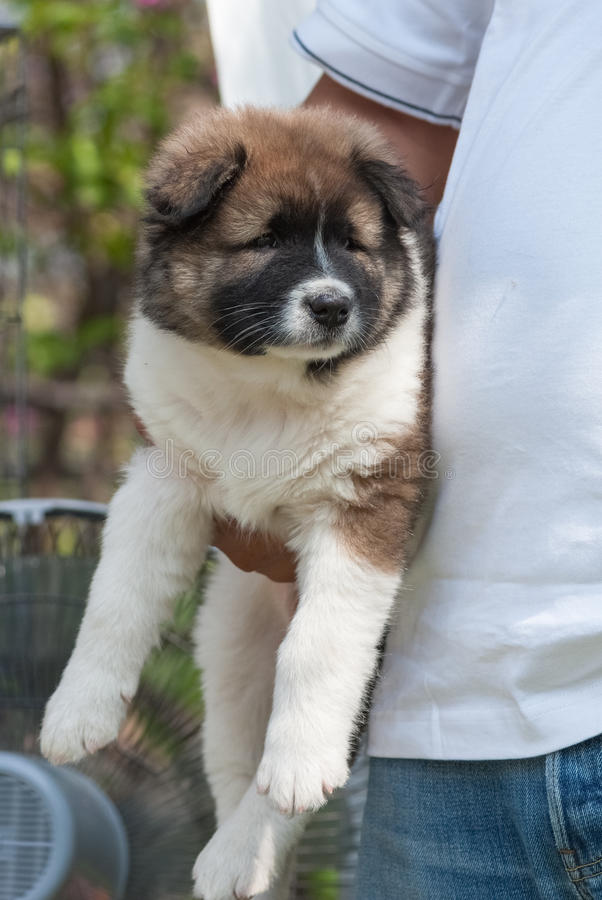 Saint Bernard puppy. Held tight by its owner stock photos