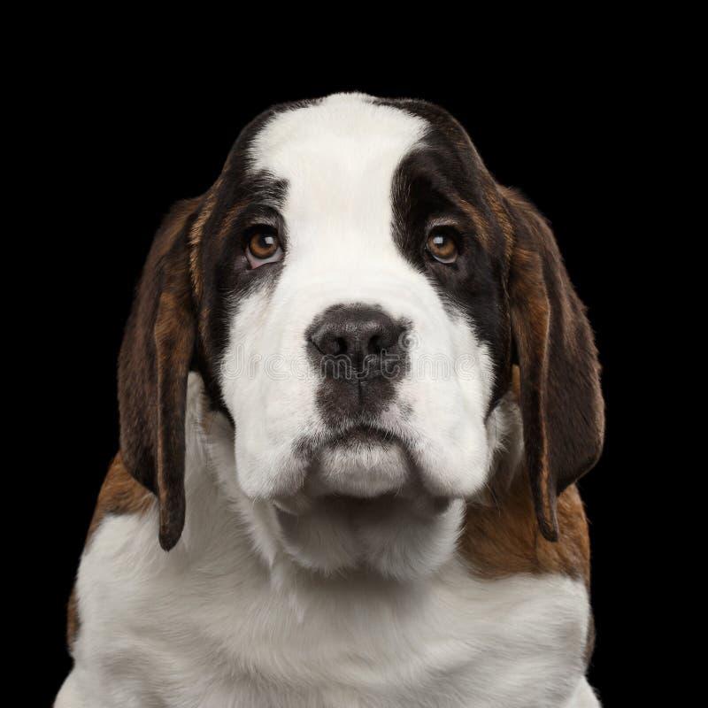 Saint Bernard Puppy on Isolated Black Background royalty free stock image