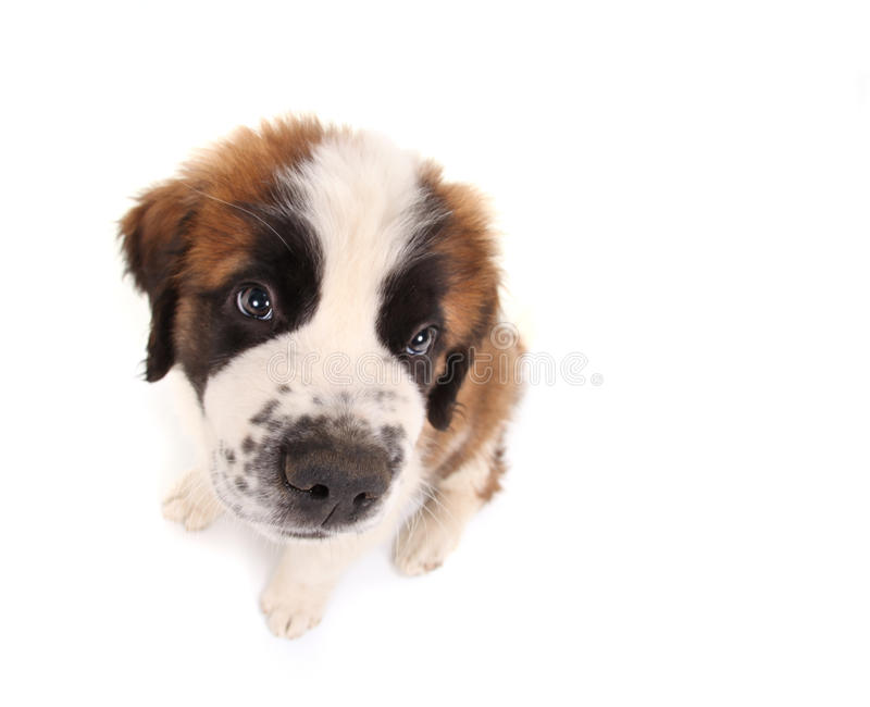 Saint Bernard Puppy Looking Sweet and Innocent. Innocent Saint Bernard Puppy Looking Sweet and Innocent on White Background royalty free stock photo