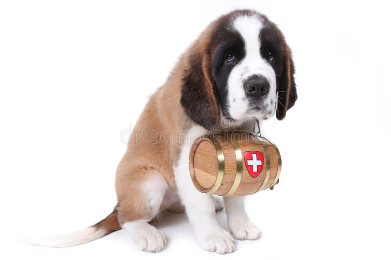 A Saint Bernard puppy with rescue barrel