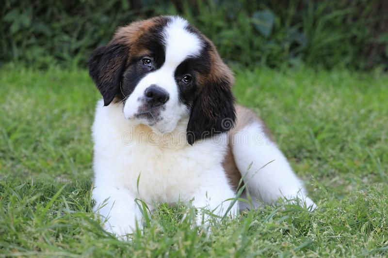 Saint Bernard Puppy With Sweet Expression. Adorable Saint Bernard Puppy With Sweet Expression royalty free stock photo