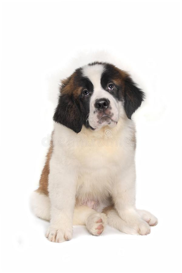 Saint Bernard Puppy With Sweet Expression. Adorable Saint Bernard Puppy With Sweet Expression royalty free stock image