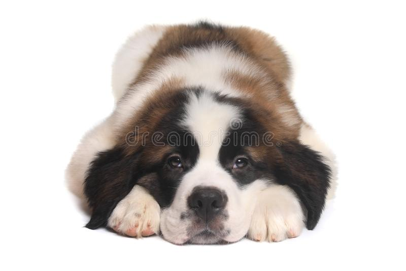 Saint Bernard Puppy With Sweet Expression. Adorable Saint Bernard Puppy With Sweet Expression stock images