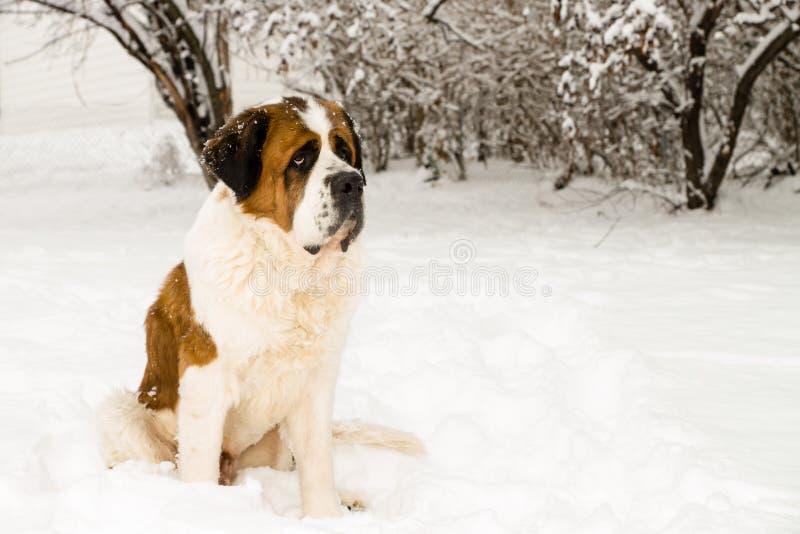 Saint Bernard in the Snow stock photography
