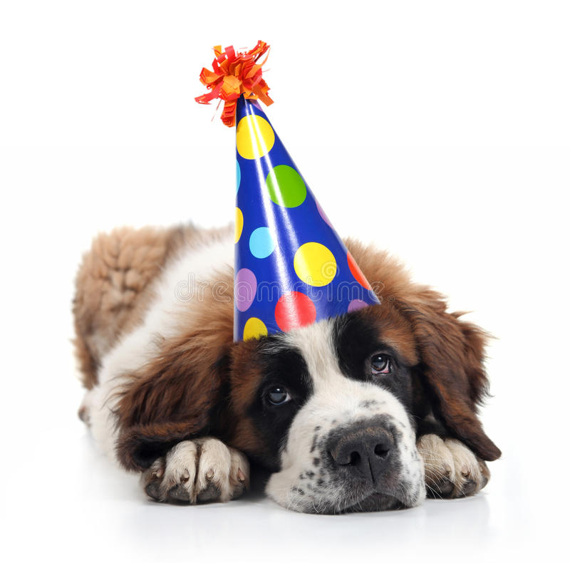 Saint Bernard Wearing a Polka Dot Birthday Hat. Mopey Saint Bernard Wearing a Polka Dot Birthday Silly Hat on White stock images