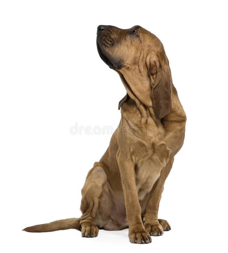 Saint-Hubert dog, sitting and looking up. Saint-Hubert dog, 1 year old, sitting in front of white background royalty free stock photo